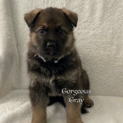 Gorgeous Gray - AKC Registrable German Shepherd puppie for sale near Fuquay Varina, North Carolina