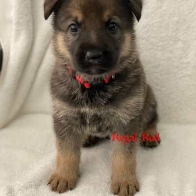 Regal Red - doggie AKC Registrable German Shepherd for sale in Fuquay Varina, North Carolina