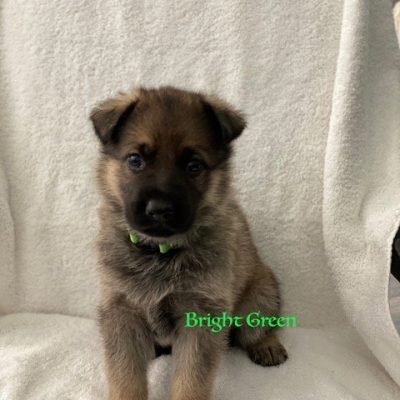Bright Green - AKC Registrable German Shepherd pup for sale near Fuquay Varina, North Carolina