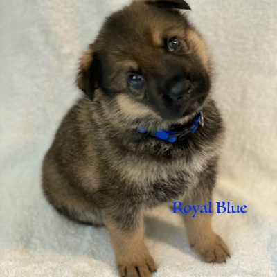 Royal Blue - AKC Registrable German Shepherd doggie for sale in Fuquay Varina, North Carolina