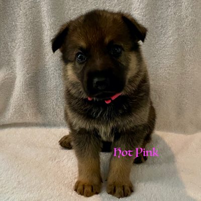 Hot Pink - AKC Registrable German Shepherd pupper for sale in Fuquay Varina, North Carolina