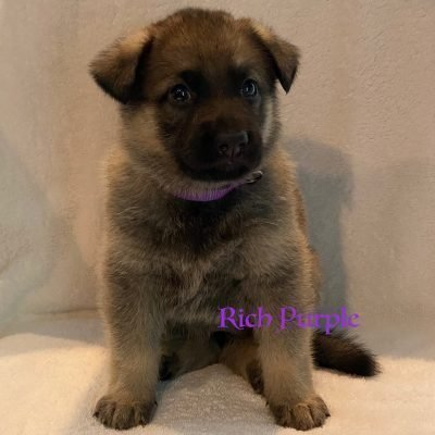Rich Purple - female AKC Registrable German Shepherd puppy for sale at Fuquay Varina, North Carolina