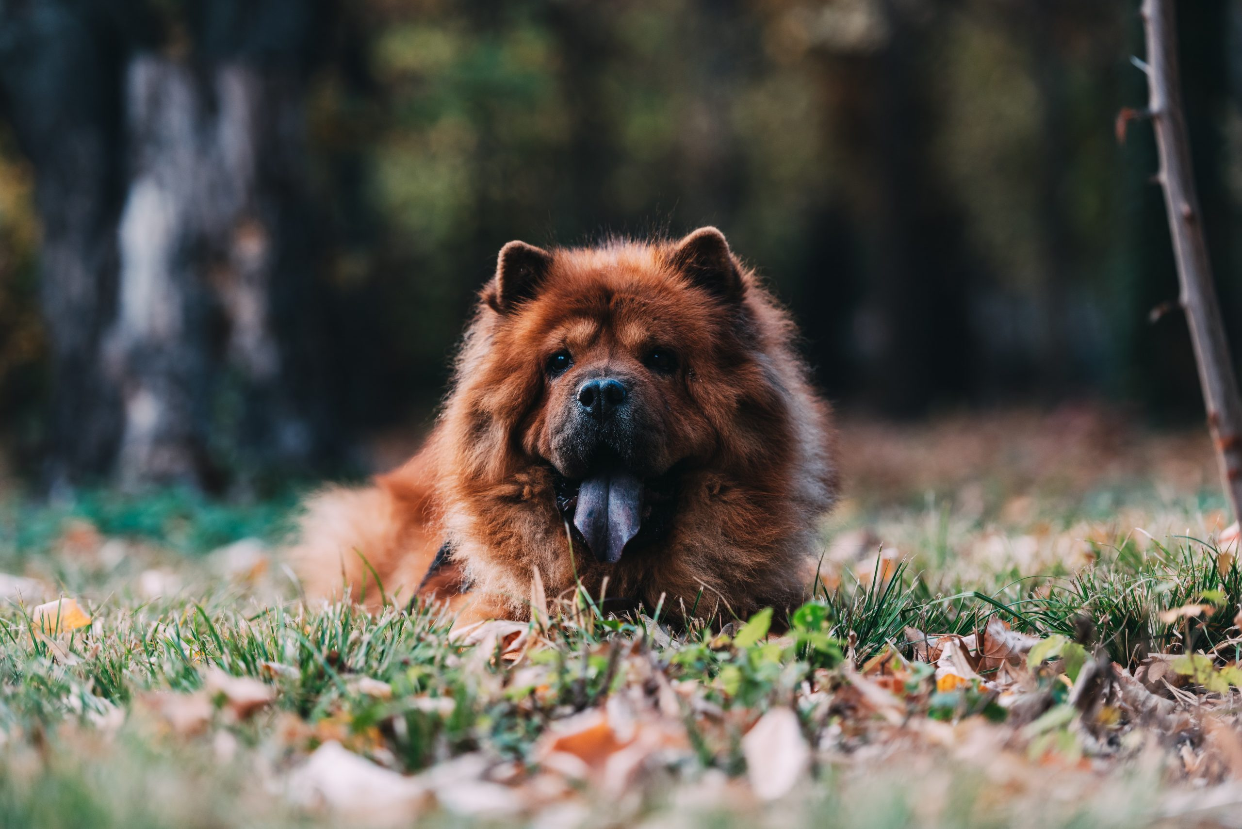15 Dog Breeds that Look Like Actual Bears