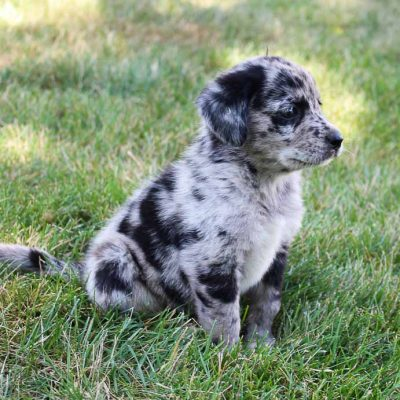 Sparky - male Lab-Blue Heeler mix pupper for sale at Grabill, Indiana