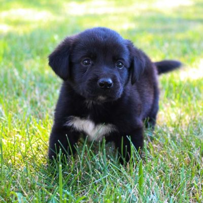 Abby - Lab-Blue Heeler mix pup for sale in Grabill, Indiana