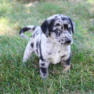 Pending - Lab-Blue Heeler mix puppy for sale near Grabill, Indiana