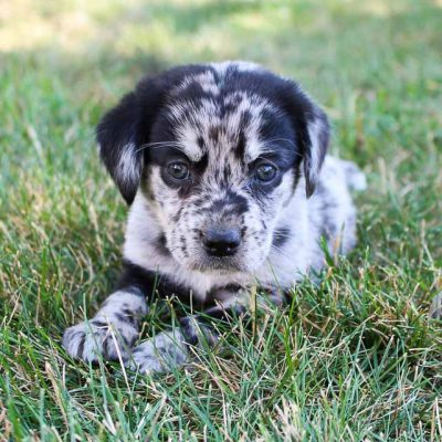 Suzie - Lab-Blue Heeler mix doggie for sale at Grabill, Indiana