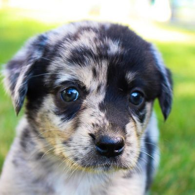 Pending - puppie Lab-Blue Heeler mix for sale in Grabill, Indiana