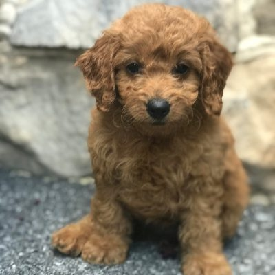 Ruby - Mini Goldendoodle Puppy