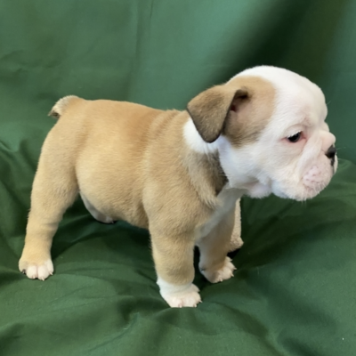 AKC English Bulldog puppy for sale in Jacksonville, North Carolina