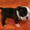 English Bulldog (Copy)