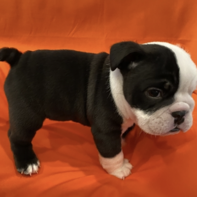 AKC English Bulldogs pups for sale near Jacksonville, North Carolina