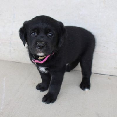 Raine - Australian-Lab mix pupper for sale in New Haven, Indiana