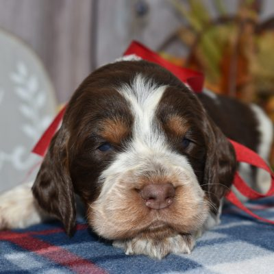 Rylee - AKC English Springer Spaniel pup for sale at East Palestine, Ohio
