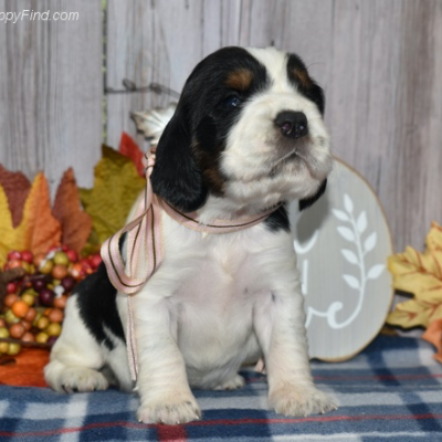 Rose - AKC English Springer Spaniel puppy for sale in East Palestine, Ohio