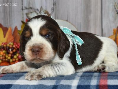 River - AKC English Springer Spaniel puppie for sale near East Palestine, Ohio
