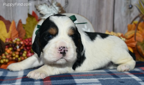 Ronan - male AKC English Springer Spaniel pupper for sale at East Palestine, Ohio