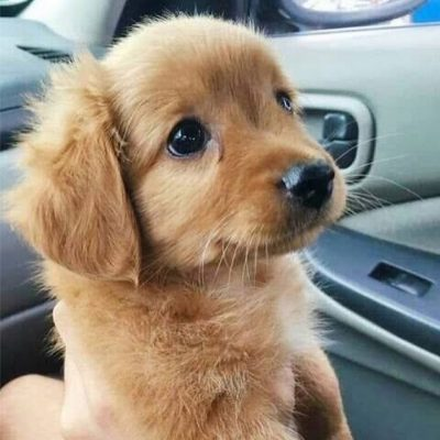 Sandy - Golden Retriever puppy for sale near Virginia