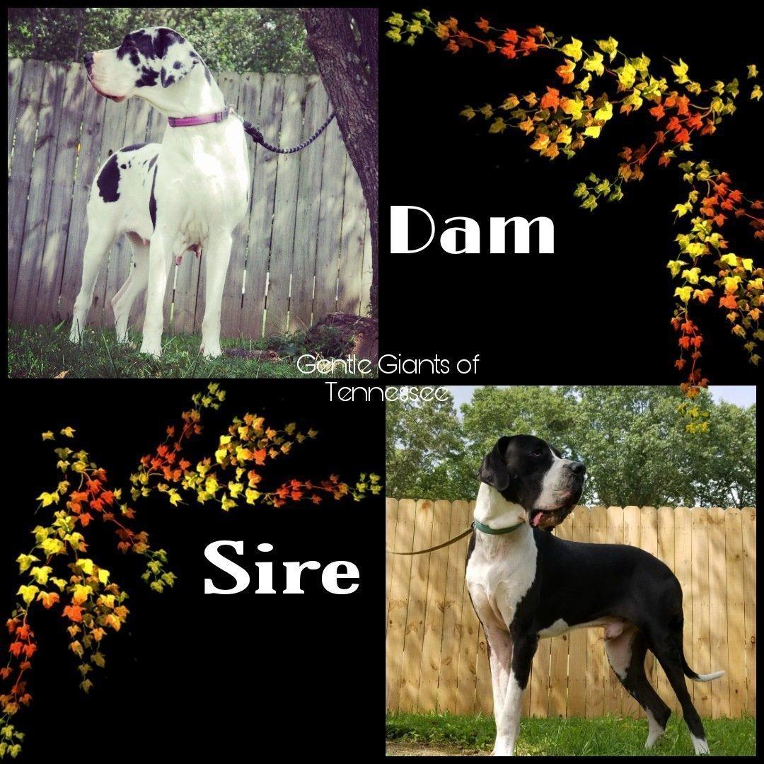 Great Dane pup litter due in October