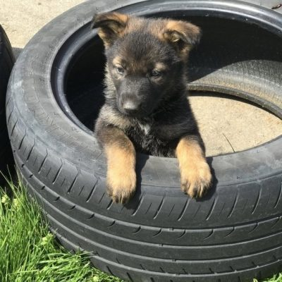 Max, Handsome German shepherd for new home