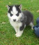 Jerry - AKC Siberian Husky pup for sale at Flint, Michigan