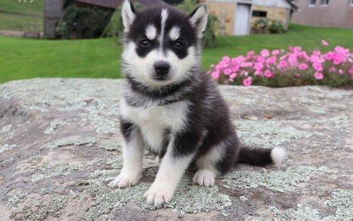 Jack - AKC Siberian Husky doggie for sale in Flint, Michigan