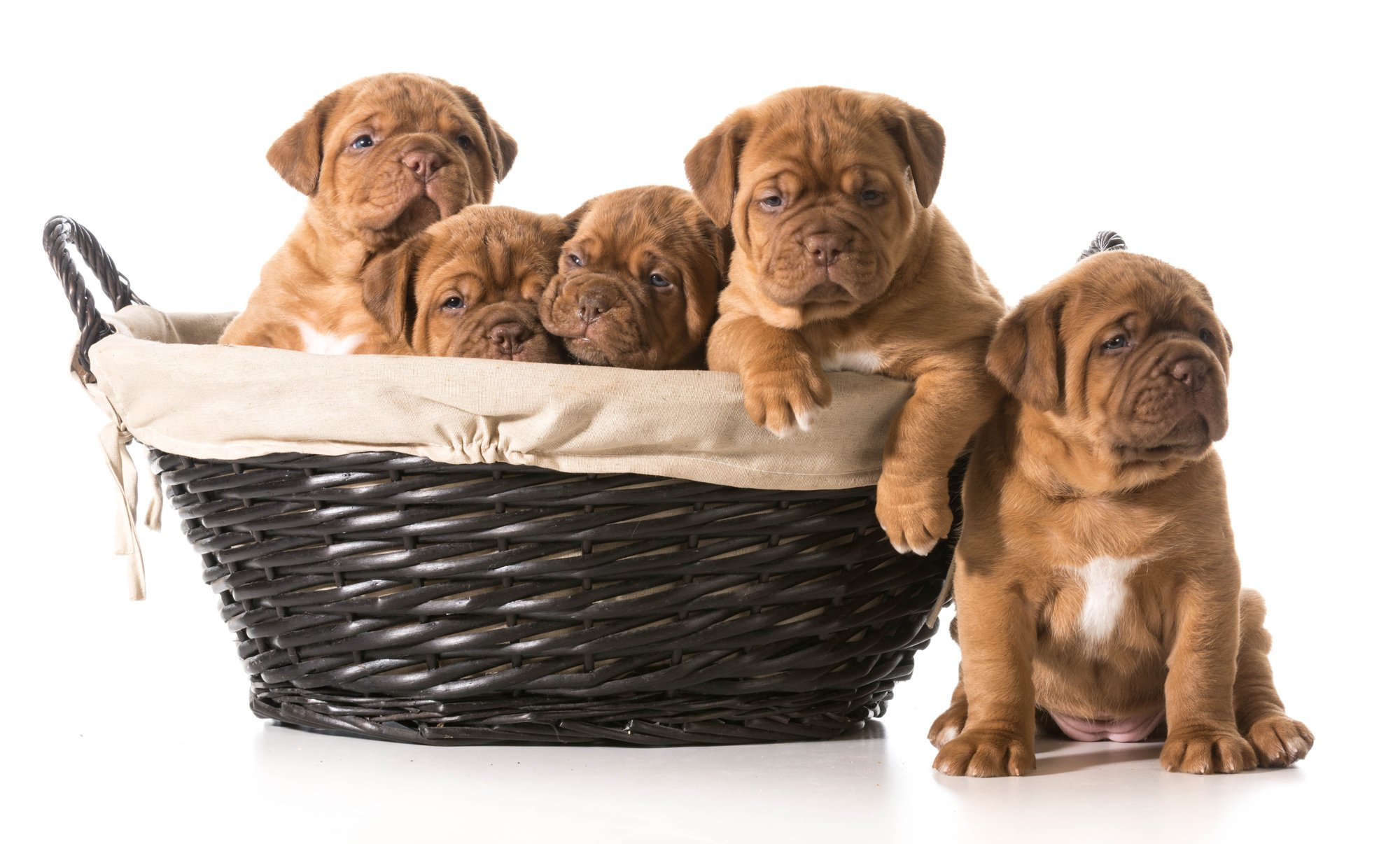 5 week old litter of five Dogue de Bordeaux puppies in a basket