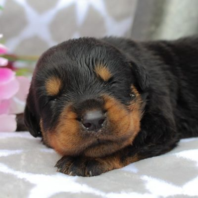 Skye - AKC Rottweiler puppie for sale at Grabill, Indiana