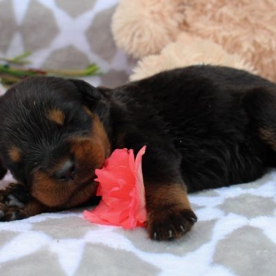 Annah - AKC Rottweiler pup for sale near Grabill, Indiana