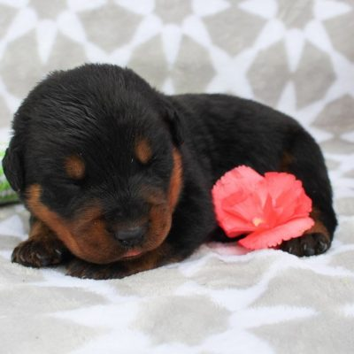 Marshell - AKC Rottweiler puppy for sale at Grabill, Indiana