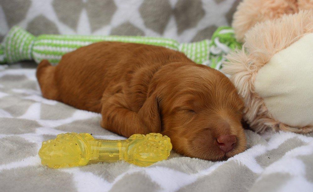 Diamond - Goldendoodle doggie for sale near Grabill, Indiana