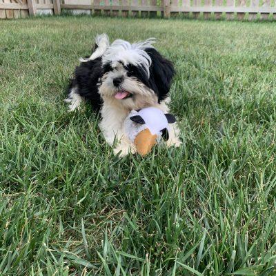 Mickey - male, Shih Tzu doggie for sale in Fishers, Indiana
