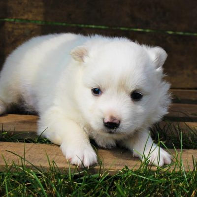 Pending - American Eskimo pupper for sale in New Haven, Indiana