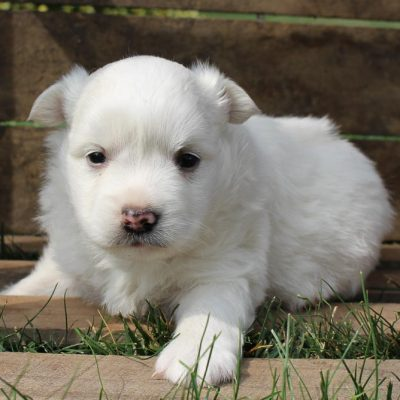Jack - American Eskimo pup for sale at New Haven, Indiana
