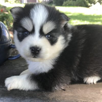 Nora - Pomsky pupper for sale at Lancaster, Pennsylvania