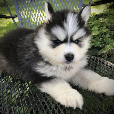 Reece - ICA Pomsky puppy for sale at Lancaster, Pennsylvania