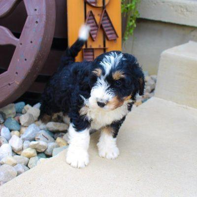 Pending - Bernedoodle doggie for sale in Fort Wayne, Indiana