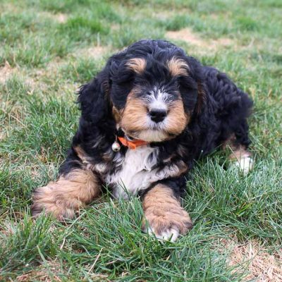 Pending - puppy Bernedoodle for sale at Fort Wayne, Indiana