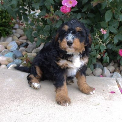 Sadie - Bernedoodle pup for sale near Fort Wayne, Indiana