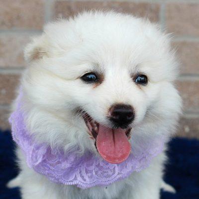 Tina - American Eskimo puppie for sale near Spencerville, Indiana