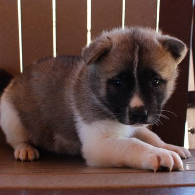 Ava - AKC Akita puppy for sale in New Haven, Indiana