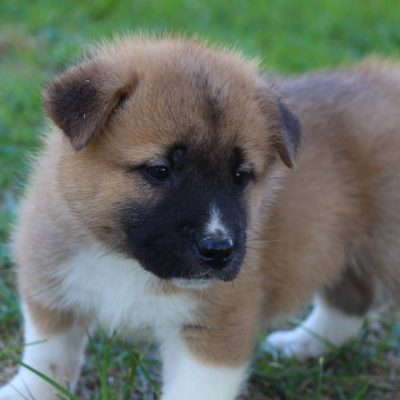 Mariah - AKC Akita female pup for sale in New Haven, Indiana