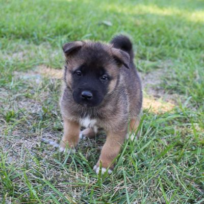 Makayla - AKC Akita pupper for sale at New Haven, Indiana
