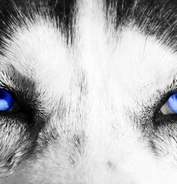 22 Common and Rare Dogs with Stunning Blue Eyes