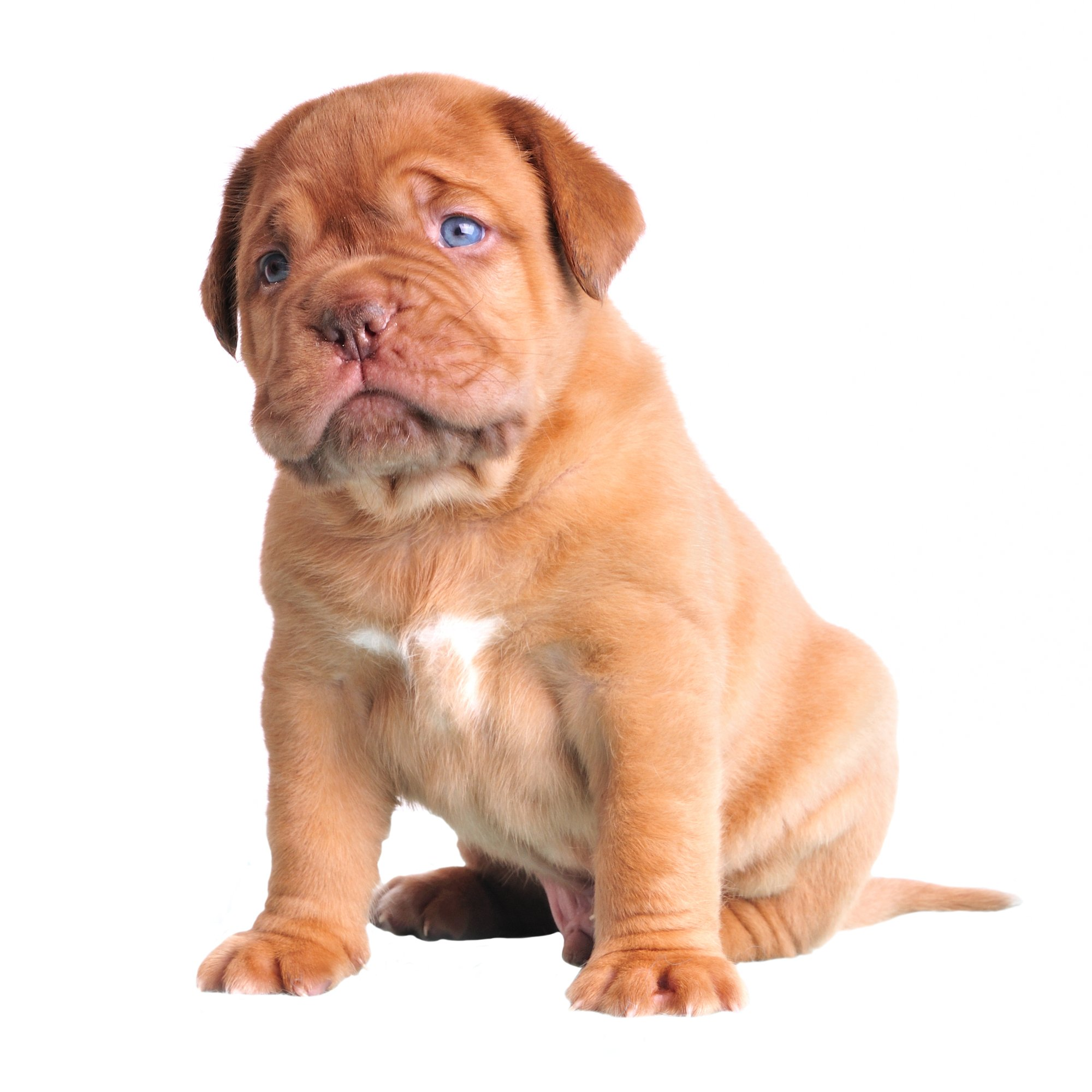 Cute Blue-eyed dogue-de-bordeaux puppy