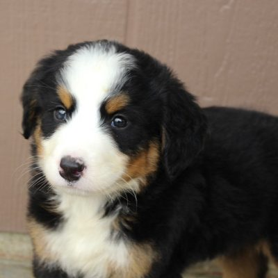 Pending - AKC Bernese Mountain doggie for sale at Spencerville, Indiana