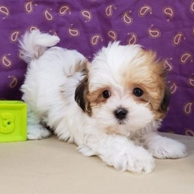 Havanese puppies for sale in Richmond, Virginia