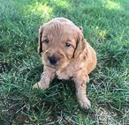 Sally - female Goldendoodle puppy for sale in New Haven, Indiana