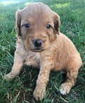 Sheila - Goldendoodle pupper for sale near New Haven, Indiana