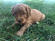 Trevor - Goldendoodle pup for sale near New Haven, Indiana